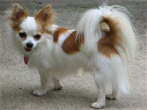 long hair chihuahua hair growth what to expect puppies for sale chihuahua for sale and chihuahua rescue