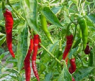 Buku Budi Daya Cabai Panen Setiap Hari budidaya tanaman cabai petani hebat