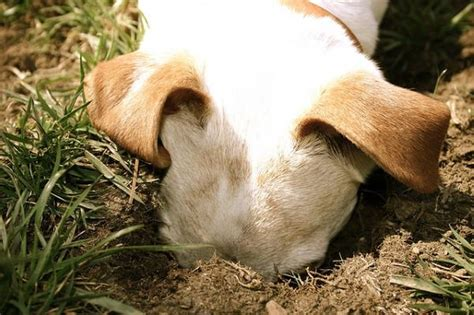 dogs dig it how to keep your from digging holes in the garden