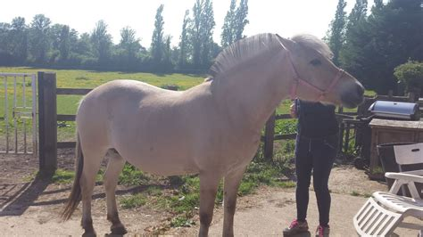 fjord horse for sale uk stunning fjord horses top quality reduced uxbridge