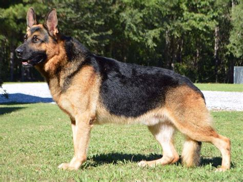 german dogs german shepherd for sale akc marketplace