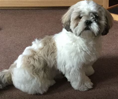 shih tzu needs shih tzu 8 months needs a new home pontefract west pets4homes