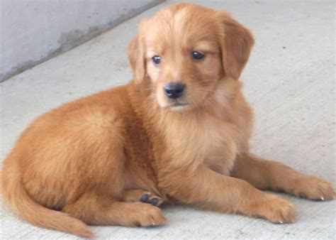 setter and golden retriever mix rosie at 6 weeks akc golden retriever and setter puppies
