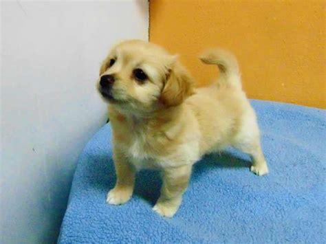 golden retriever chihuahua mix puppies chihuahua golden retriever mix www pixshark images galleries with a bite