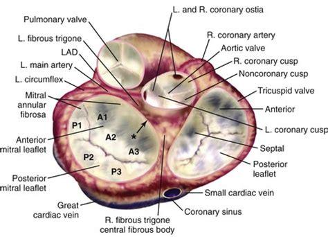 aortic mitral curtain aortic mitral curtain savae org