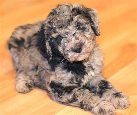 aussiedoodle puppies aussiedoodle australian shepherd poodle mix info puppies pictures
