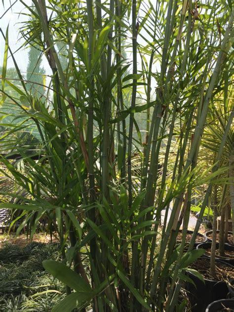 bamboo palm palms galore perth