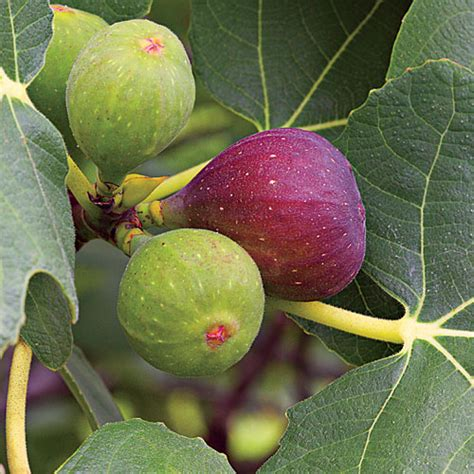 why is my fig tree not producing fruit of the way an overview paul holt ministries
