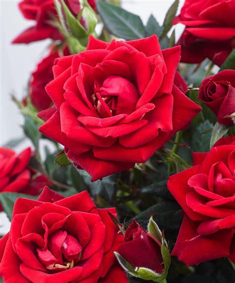 cura roselline in vaso acquista rosellina in vaso parade 174 karina bakker