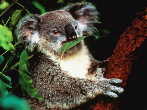 imagenes animadas koala koala animal wildlife