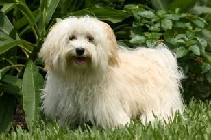 havanese behavior havanese appearance grooming