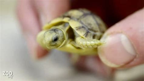 tiny tiny tiny baby egyptian tortoise up close youtube