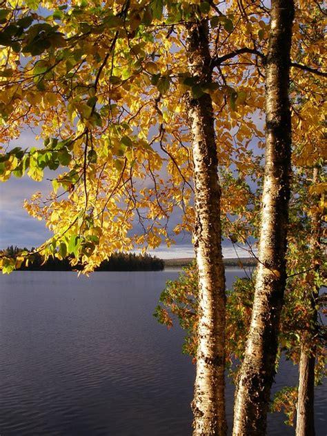 birch yellow  photo  pixabay