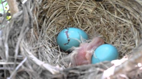 baby robin hatching youtube