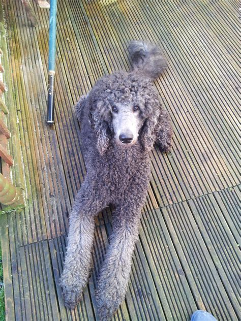 silver standard poodle puppies standard poodle puppies silver dogs in our photo