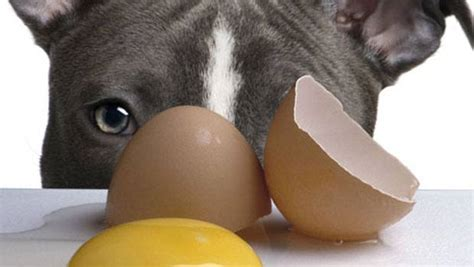 eggs bad for dogs top 17 human foods that are bad and dangerous for dogs