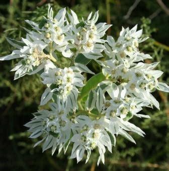 euphorbia marginata lambley nursery