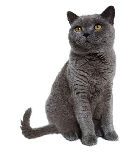Grey cat sitting transparent background image