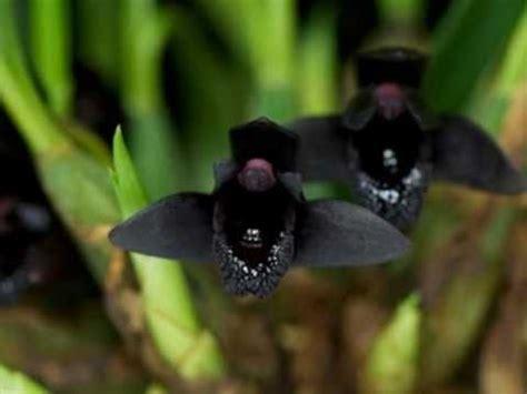 imagenes orquideas negras as interessantes e raras quot orqu 237 deas negras quot youtube