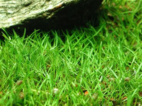 micro sword carpet lilaeopsis brasiliensis how to grow and care for