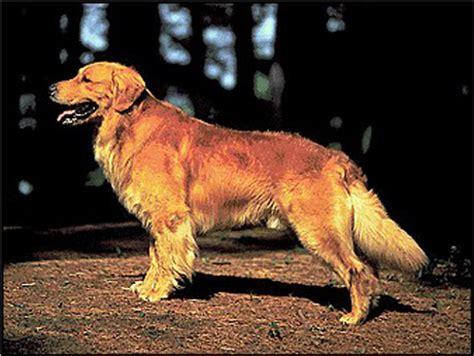 golden retriever pedigree golden retriever