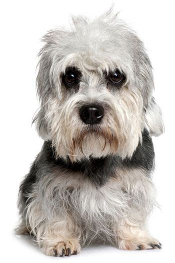 puppy dandie dinmont terrier puppy for your birthday 20 best images about island puppies private breeders
