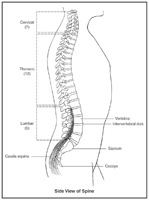 cross section of spinal cord at different levels spinal cord cross section different levels archives