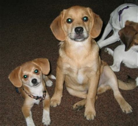 beagle and pomeranian mix pomeagle beagle pomeranian mix info puppies temperament pictures