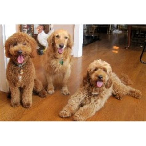 goldendoodle puppy nc miller s gorgeous goldendoodles goldendoodle breeder in