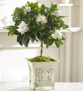 Gardenia House Plant Gardenia Topiary For Distinctive Designs With Marlo