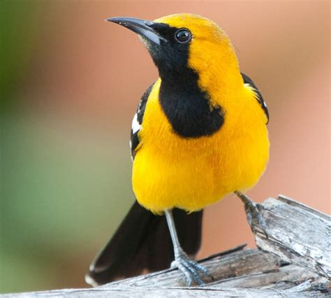 1000 images about birds on pinterest scarlet northern