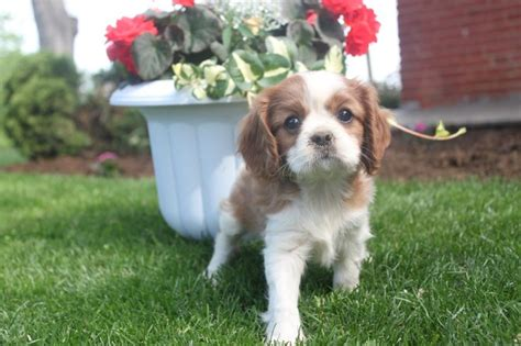 puppies for sale in pa 1000 images about cavalier king charles puppies for sale