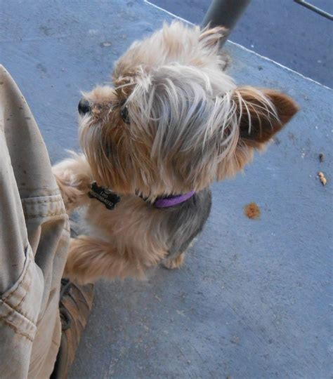 yorkie for attention 264 best images about terriers on pets puppys and yorkies
