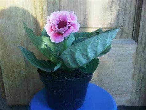 Tanaman Bunga Hias Gloxinia Pink by Jual Tanaman Gloxinia Pink Bibit