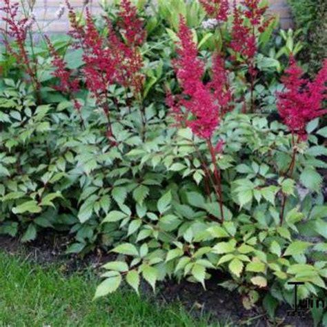 sprite bloemen pluimspirea astilbe simplicifolia sprite planten