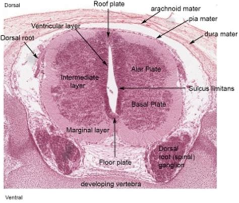 spinal cord transverse section neural spinal cord development embryology