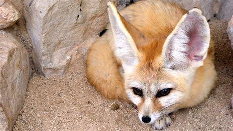 fox like 100 that looks like a fox lostdogsandiego hashtag on 14 things you