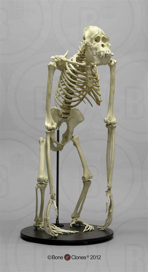best 25 human skeleton bones ideas only on skeleton anatomy labelled 25 best ideas about skeleton bones on human skeleton bones bones and name