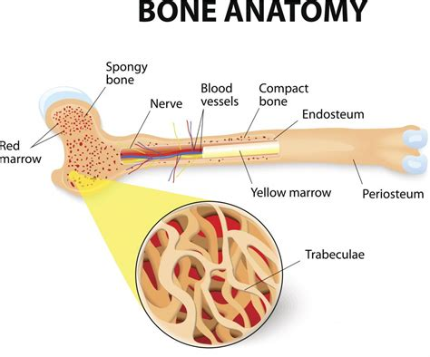 And Bone bones types structure and function