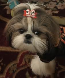 loco shih tzu shih tzu affectionate and playful loco locos y mascotas