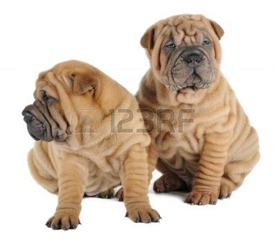 shar pei puppies for sale craigslist shar pei puppies for sale