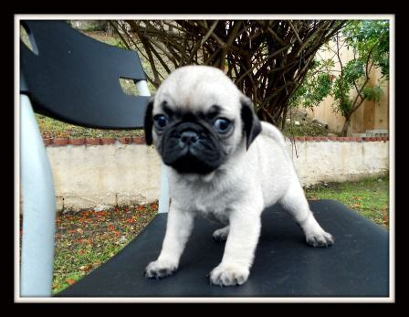 teacup pugs for sale in florida 17 best ideas about teacup pugs for sale on baby pugs for sale pugs for