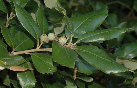 Quercus 'Ilex' Oak Tree in a 12 Litre Pot   Evergreen