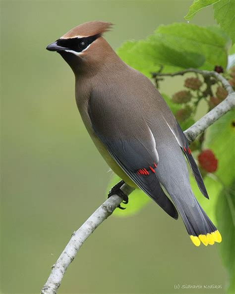 cedar waxwing exotic birds of paradise pinterest
