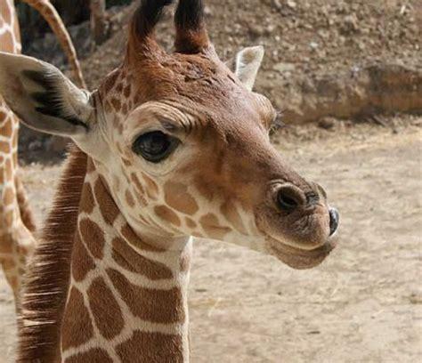 imagenes jirafas tiernas jirafas tiernas imagenes imagui