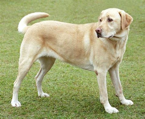 lab puppies ta labrador retriever todo lo que necesitas saber sobre este perro