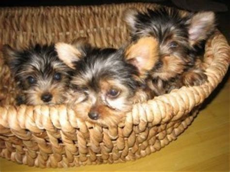 free puppies in vermont dogs south burlington vt free classified ads