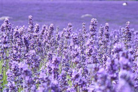 wallpaper hd for desktop full screen flower flower flowers lavender purple the field of the field blur