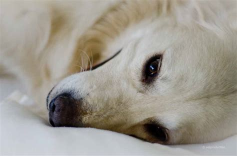 hund fieber ab wann fieber bei hunden tiermedizinportal