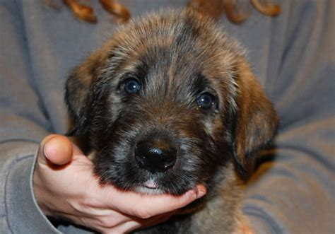 wolfhound puppy price bainbridge wolfhounds